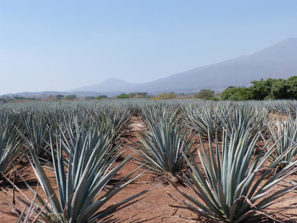Les secrets de la tequila